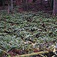 Jurassic Ferns