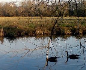 Mesopotamia Geese